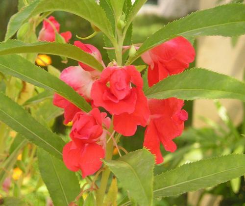Hoa móng tay kép đỏ