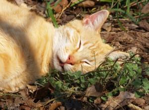 bạc hà mèo catnip 1