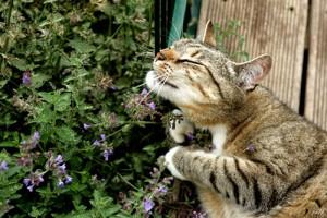 bạc hà mèo catnip 2