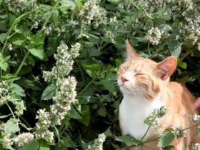 bạc hà mèo catnip