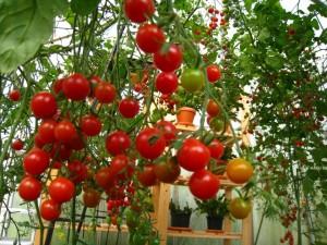 cà chua bi chùm 1