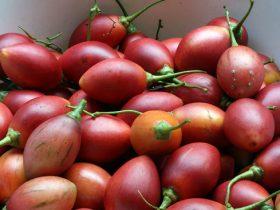 cà chua thân gỗ 1