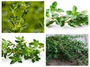 cỏ xạ hương 2