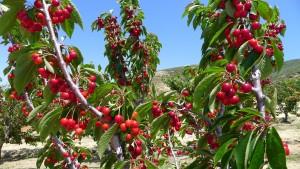 cherry 2