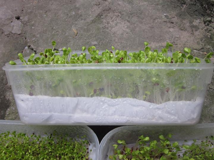 Cách trồng rau mầm trên giấy ăn