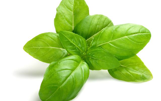 Hạt giống húng tây - Vua hạt giống Việt Nam