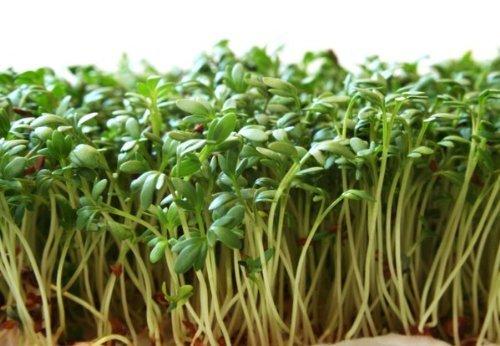 Hạt giống rau mầm sạch không sử dụng thuốc bảo vệ