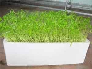 trồng rau mầm không đất
