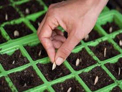 Hướng dẫn trồng rau mầm tốt nhất