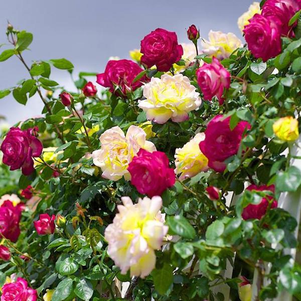 hạt giống hoa hồng