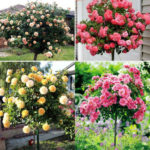 hướng dẫn trồng hạt giống hoa hồng