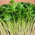 hạt giống rau mầm italia