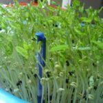 rau mầm đậu cove