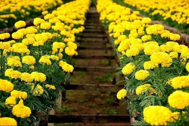 hoa cúc ngày rằm