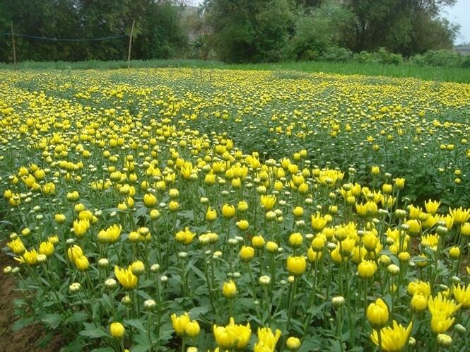 cách trồng hoa cúc tốt nhất
