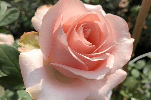 hoa hồng có ý nghĩa gì