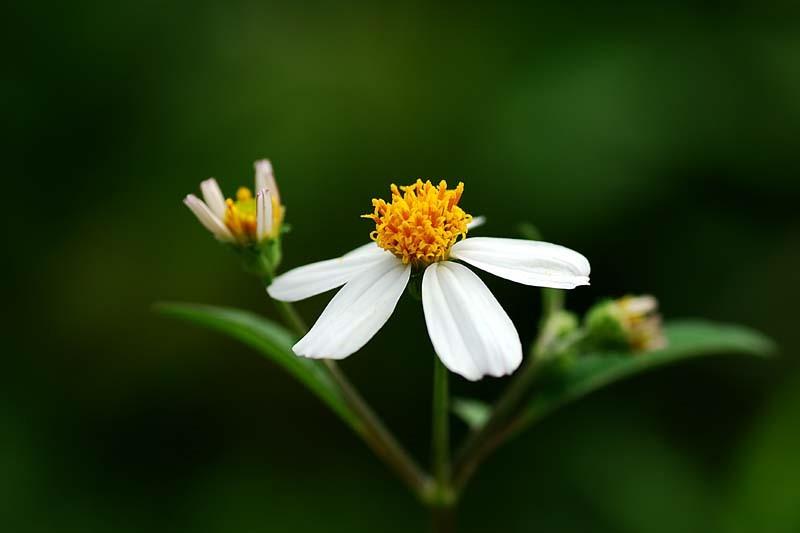 hạt giống hoa cúc xuyến chi