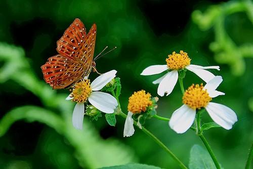 hoa cúc xuyến chi