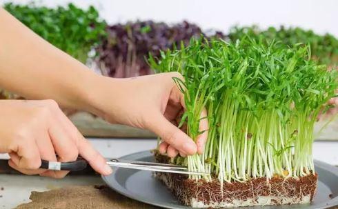 hướng dẫn trồng rau muống mầm