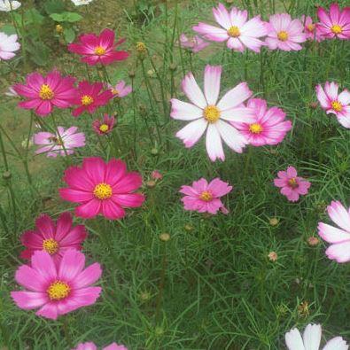 hạt giống hoa cánh bướm