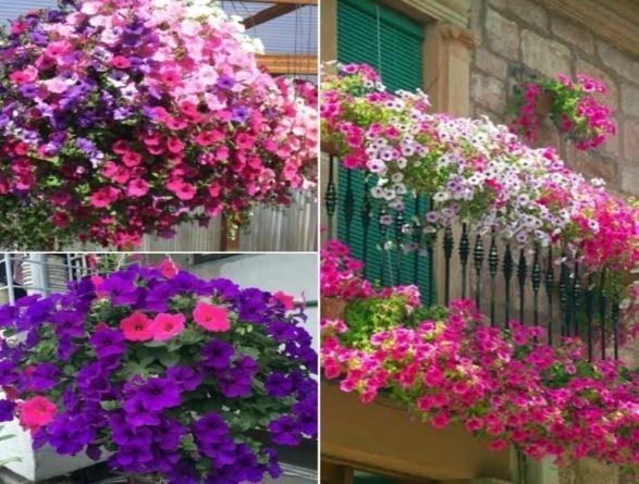 hoa dạ yến thảo trồng ban công