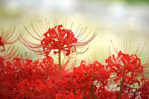 hạt giống hoa bỉ ngạn