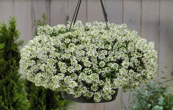 hạt giống hoa bông tuyết trồng ban công