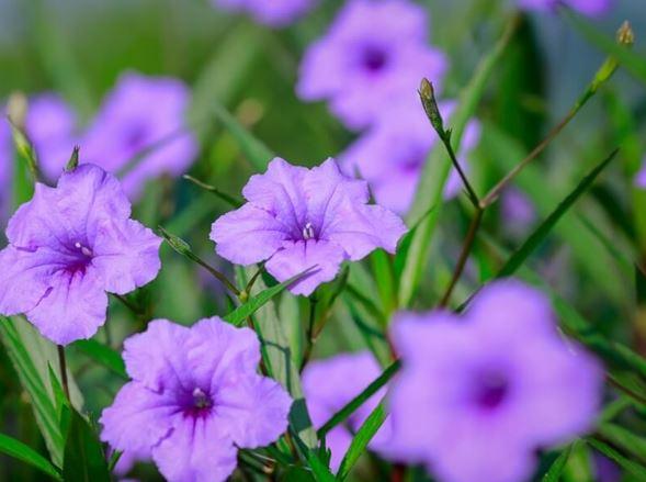 hạt giống hoa chiều tím