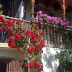 hạt giống hoa hồng leo trồng ban công