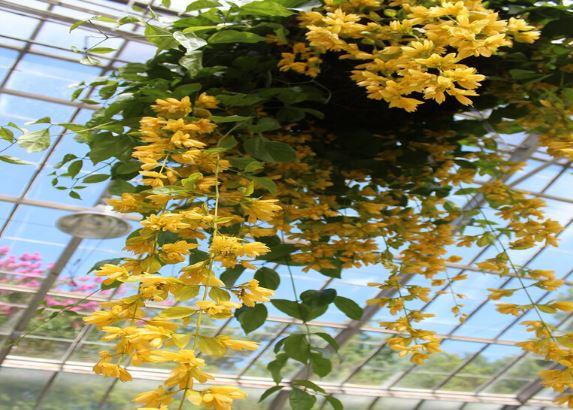 hạt giống hoa lan hoàng dương trồng ban công