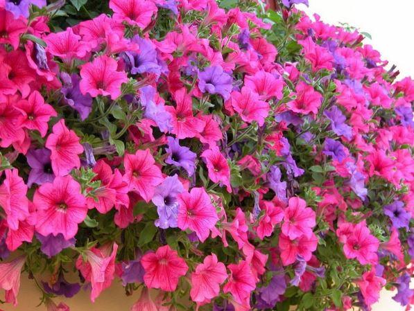 hạt giống hoa nở quanh năm