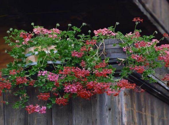 hạt giống hoa phong lữ thảo trồng ban công