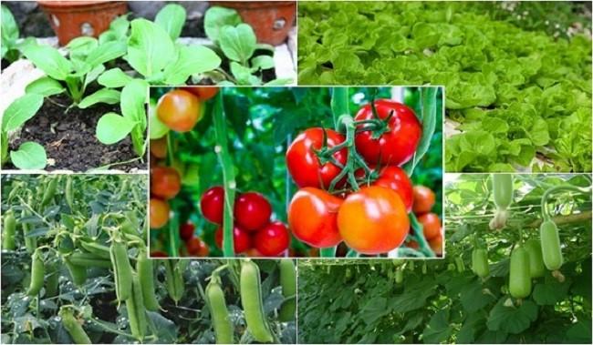 vụ hè nên trồng rau gì