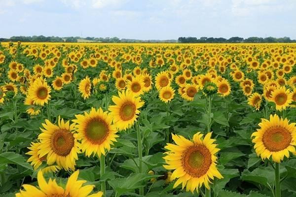 Chi phí trồng hoa hướng dương