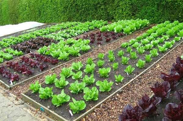 kỹ thuật trồng rau cải mùa hè